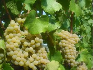 Piemonte_vino_2